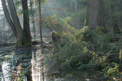 Soporte ripícola del bosque de Bialowieza por mañana Fotos de archivo libres de regalías