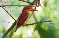 Soporte rubicundo del pájaro del martín pescador en el palillo del árbol Fotografía de archivo