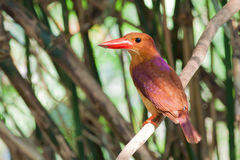 Soporte rubicundo del pájaro del martín pescador en el palillo del árbol Imagen de archivo