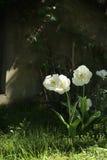 Soporte Tacoma de los tulipanes Imágenes de archivo libres de regalías