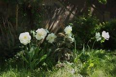 Soporte Tacoma de los tulipanes Imagen de archivo libre de regalías