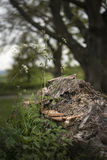 Soporte u hongo de estante en árbol muerto en bosque con el departamento bajo imagen de archivo libre de regalías