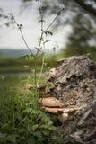 Soporte u hongo de estante en árbol muerto en bosque con el departamento bajo fotos de archivo