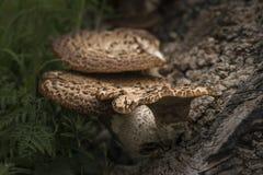 Soporte u hongo de estante en árbol muerto en bosque con el departamento bajo imagen de archivo