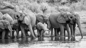 Soporte y bebida grandes de la manada del elefante en el borde de un agujero de agua Imagen de archivo libre de regalías