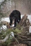 Soportes americanus del Ursus del oso negro encima del paquete de la raíz con Tongu fotos de archivo libres de regalías