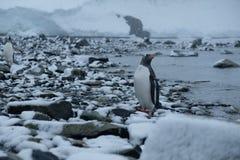 Soportes de los pingüinos de la Antártida Gentoo en la playa rocosa nevosa después de cazar imagenes de archivo