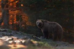 Soportes grandes del oso de Brown en el fondo de los ojos de Autumn Forest And Looks Into Your El Ursus Arctos Brown refiere la m fotos de archivo libres de regalías