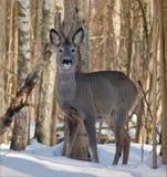 Soportes masculinos de los ciervos de huevas entre los árboles en bosque del invierno imagenes de archivo