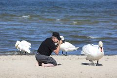 A man taking photo of swans on the sandy beach in Sopot, Poland royalty free stock images