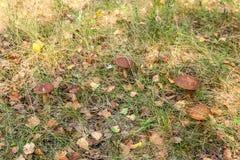 Sopp för lock för skogchampinjoner som brun växer i en grön mossa Royaltyfri Foto