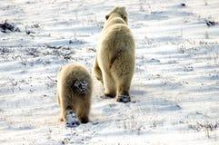 sopporta due polari Fotografie Stock