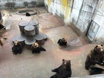 Sopporta il marrone Giappone dello zoo della gabbia di recinzione dell'orso grigio Fotografia Stock