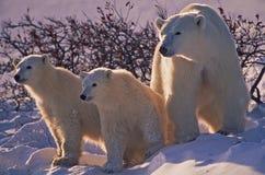 sopporta polare fotografie stock libere da diritti