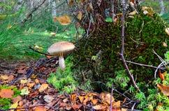 Soppscaber (Leccinumscabrum) under den gamla björken royaltyfri foto