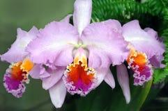 sopra il verage dell'orchidea Fotografia Stock