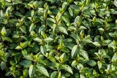 Sopra la vista dei germogli della menta e delle foglie verde scuro, all'aperto Immagine Stock