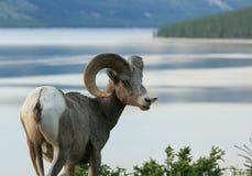 sopra le pecore del lago del bighorn Fotografia Stock Libera da Diritti