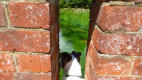 Sopra un fiume inglese un terrier fissa fuori da un ponte del mattone Fotografie Stock