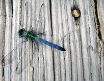 Sopra una libellula Fotografie Stock