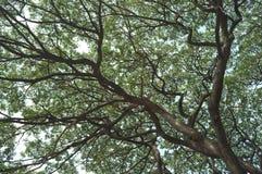 Sopraffacendo dall'albero enorme nel parco di Chatuchak immagini stock libere da diritti
