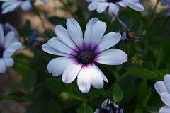 Soprano white daisy. Beautiful White daisy with purple center Stock Photo