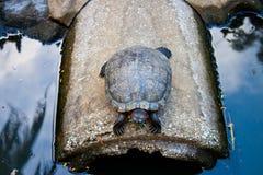 Sopravvivenza della tartaruga Fotografia Stock