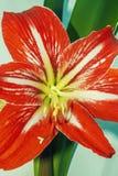 Sopro de florescência vermelho da casa imagem de stock