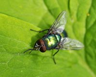Sopro-mosca Imagem de Stock Royalty Free