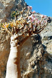 Soqotri tree. Soqotra island in Yemen, Indian Ocean Royalty Free Stock Photo