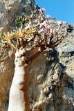 Soqotri tree. Soqotra island in Yemen, Indian Ocean royalty free stock photo