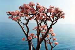 Soqotri tree. Soqotra island in Yemen, Indian Ocean Stock Photography