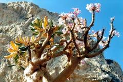 Soqotri tree. Soqotra island in Yemen, Indian Ocean royalty free stock photos
