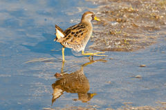 Sora. Secretive Sora Scampering in Open Marsh Area Royalty Free Stock Images