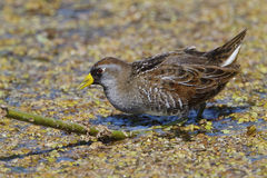 Sora Foraging in a Shallow Marsh - Florida. Sora (Porzana carolina) Foraging in a Shallow Marsh - Florida Stock Images