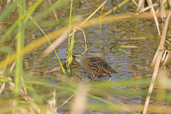 Sora in a Marshland on the hunt. Near Port Aransas, Texas royalty free stock photo