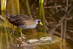 Sora (Porzana carolina). Sora foraging in shallow pond water Stock Images