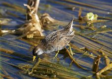 Sora Porzana carolina foraging. At edge of Lake Chapala, Jocotopec, Jalisco, Mexico Stock Photos