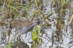 Sora, Porzana carolina, hunting in marsh. A Sora, Porzana carolina, hunting in marsh stock photo