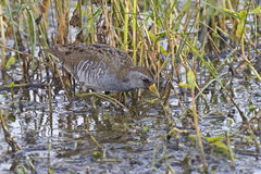 Sora, Porzana carolina, hunting in wetlands. A Sora, Porzana carolina, hunting in wetlands stock photos