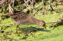 Sora Rail. Feeding in the marsh royalty free stock photos