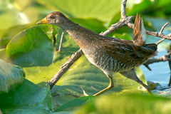 Sora Rail. Foraging in the lily pads stock image