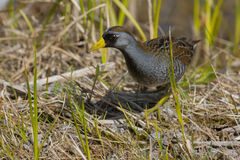 Sora Rail. Standing in the short grass at the edge of the marsh stock images