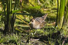 SoraPorzana Carolina. Sora ,small bird in its typical natural environment. The marsh in Wisconsin and other swamps areas in USA and Europe.Migration birds stock photos