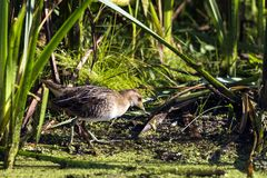 SoraPorzana Carolina. Sora ,small bird in its typical natural environment. The marsh in Wisconsin and other swamps areas in USA and Europe.Migration birds stock image