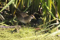 SoraPorzana Carolina. Sora ,small bird in its typical natural environment. The marsh in Wisconsin and other swamps areas in USA and Europe.Migration birds royalty free stock photos
