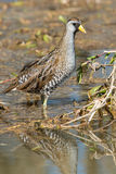 Sora. Standing in the shallow marsh royalty free stock photos
