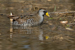 Sora. Wading in the marsh royalty free stock images