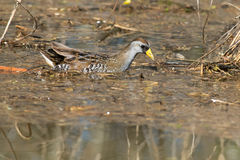 Sora. Wading in the marsh stock image