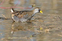 Sora. Wading in the marsh stock photography